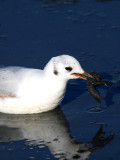 Black-headed Gull eating an American Crayfish - Larus ridibundus - Gaviota reidora comiendo cangrejo de rio - Gavina riallera
