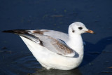 Black-headed Gull 1st winter- Larus ridibundus - Gaviota reidora primer invierno- Gavina riallera primer hivern