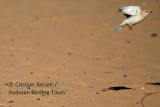 Desert Sparrow female - Passer simplex