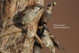 House Sparrows in the Sahara desert - Passer domesticus tangitanus - Gorrion en el Desierto