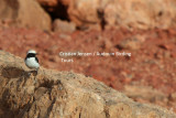North African Mourning Wheatear - Oenanthe (lugens) halophila - ssp from Morocco