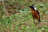 Moussier's Redstart - Phoenicurus moussieri