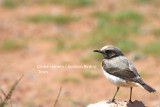 Female Mourning Wheatear - Oenanthe lugens spp from Morocco with dark throat