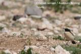 Desert Wheatear - Oenanthe desertii