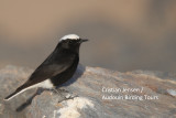 White-crown Wheatear - Oenanthe leucopiga