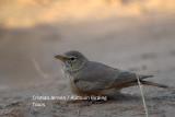 Desert Lark - Ammomanes desertii