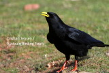 Yellow-billed Chough