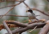 Adult male Sardinean Warbler - Sylvia melanocephala