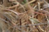 Western Olivaceus Warbler - H. (pallida) opaca