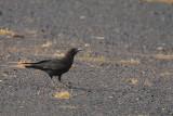 Brown Necked Raven - Corvus ruficollis