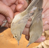 Saharai (left) Western and Olivaceus Warbler - Hippolais (opaca/pallida) reisieri (left) and H. (pallida) opaca (right)