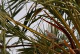 Turtle Dove - Streptopelia turtur arenicola - Tortora vulgar
