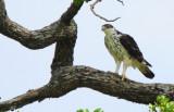 Ayre's Eagle
