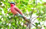 Southern Carmine Beeater - Merops nubicoides - Abejaruco Carmesí - Abellarol Carmínat