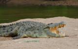 Croccodile - Cocodrilo