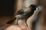 Black-eyed Bulbul - Pycnonotus barbatus