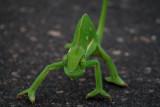 Chameleon - Camaleon - Camaleó