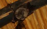 Bat - Murcielago - Rat-penat