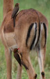 Oxpecker on an Impala