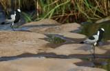 Fredeluga - Vanellus armatus