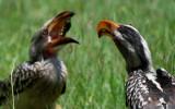 Calao dando de comer a un pollo - Hornbill feeding chick