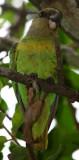 Parrot - Lloro - Loro