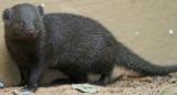 Pigmy mongoose - Mangosta enana