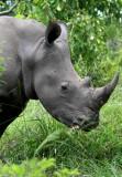 White or Grass Rhinoceros - Ceratotherium simum - Rinoceronte blanco - Rinoceront blanc