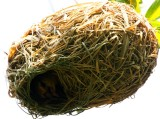 Female Weaverbird inside the nest