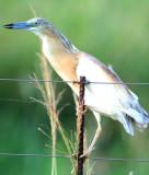 Squacco Heron - Ardeola ralloides - Garcilla cangrejera - Martinet Ros