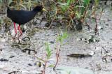 Black Crake - Amaurornis flavirostris - Polluela negra - Rasclet negre