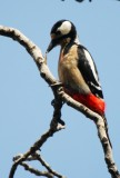 Great Spotted Woodpecker - North African race - Dendropocos major numidus