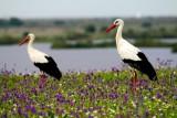 White storks in dehesa de abajo