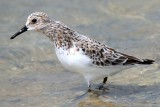 Sanderling - Calidris alba - Correlimos tridactilo - Territ tresdits