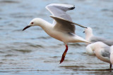 Slender billed gull in flight - Larus genei - Gaviota picofina - Gavina capblanca