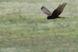 Adult Female Montagus Harrier Dark morph - Circus pygargus - Aguilucho cenizo fase oscura - Esparver cendrós
