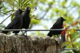 Jackdow - Corvus monedula - Grajilla - Gralla