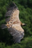 Griffon Vulture - Gyps fulvus - Buitre leonado - Voltor Comú