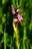 Tong Orchid - Sirrapias lingua