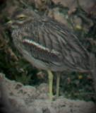 Stone Curlew - Burhinus oedicnemus -Torlit - Alcaravan - Triel