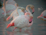 Greater Flamingo - Phoenicopterus ruber - Flamenco - Flamenc