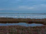 Greater Flamingo in Tancada Lagoon - Phoenicopterus ruber - Flamenco en la laguna - Flamenc a la llacuna de la Tancada