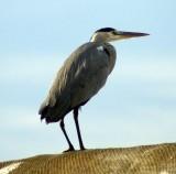Grey Heron - Ardea cinerea - Garza Real - Bernat Pescaire