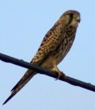 Female Common Kestrel - Falco tinnunculus -  Hembra de Cernícalo Común - Xoriguer