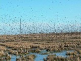 Starlings - Sturnus - Estorninos - Estornells