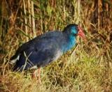 Purple Gallinule or Purple Swamp Hen - Porphyrio porphyrio - Calamón - Polla Blava - Gall Marí o de Canyar