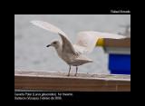 Iceland Gull - Larus glaucoides - Gaviota Polar - Gavinot Polar