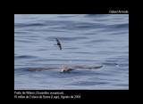 Wilson's Petrel - Oceanicus oceanicus - Paíño de Wilson - Petrell Oceànic