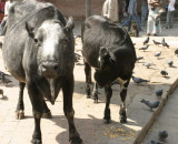 All cows are sacred in Nepal. These are roaming Durbar Square.
