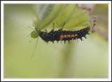 Ladybird larvae and pupae:: 2 Subgalleries